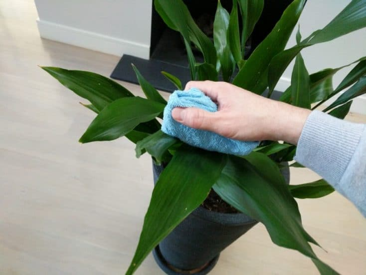 How Do You Clean Indoor Plant Leaves? - Smart Garden Guide House Plant Leaf Shine on house plant holders, house plant orchids, house plant liquid plant food, house plant pots, house plant cacti, house plant anthurium, house plant trays, house plant fertilizers, house plant vases, house plant pedestals, house plant moss, house plant cleaning, house plant insecticide, house plant fungicide, house plant spray,