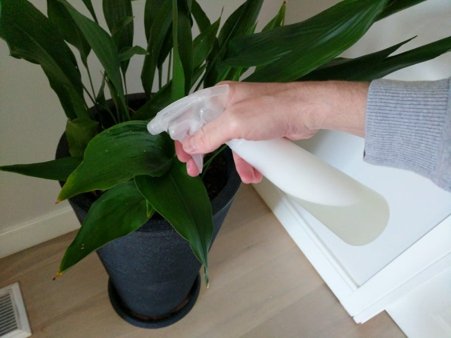 how do you clean indoor plant leaves