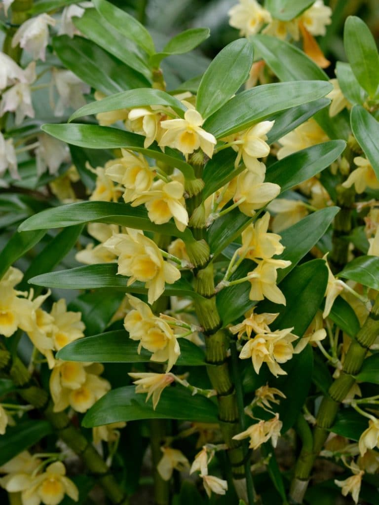 how to care for a dendrobium nobile orchid