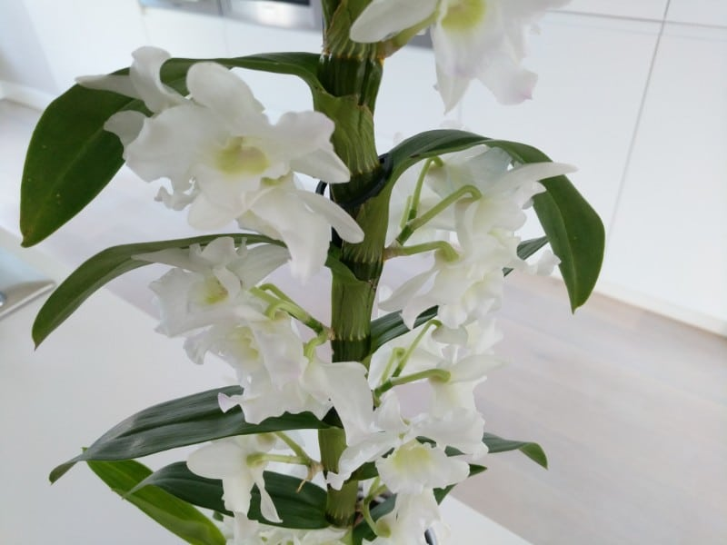 How To Care For A Dendrobium Nobile Orchid With Pictures Smart