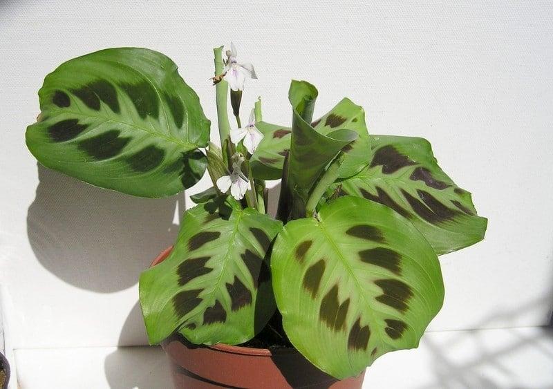 how to care for a prayer plant maranta leuconeura
