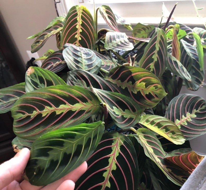 How to Care for A Prayer Plant - Maranta (With Pictures