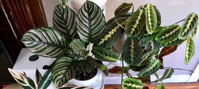Care For A Prayer Plant Maranta