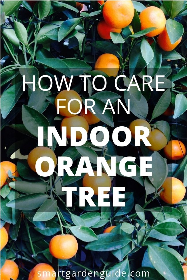 how to care for an indoor orange tree
