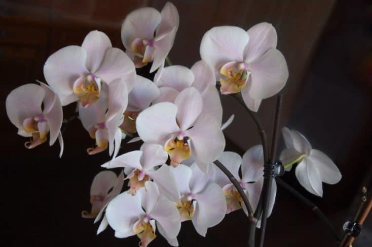 how to fertilize phalaenopsis orchids