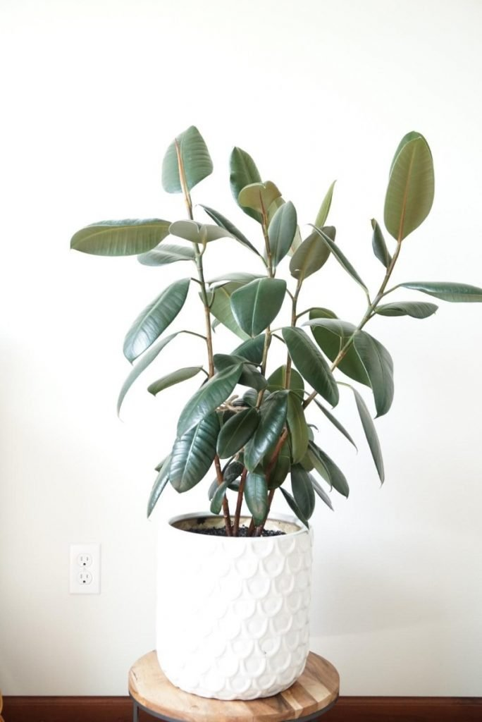 how to care for a rubber plant ficus elastica