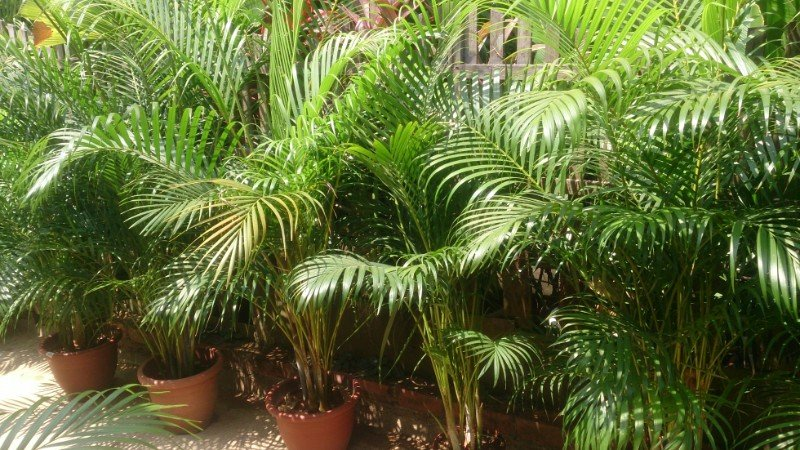 areca palm care dypsis lutescens