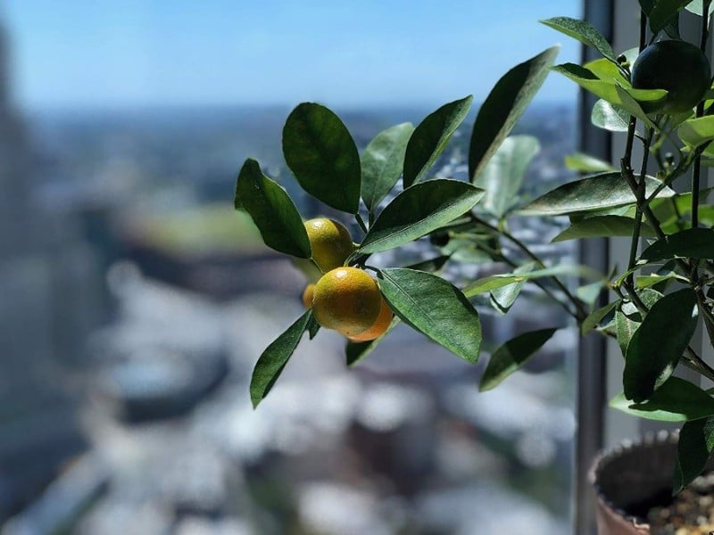 best smelling indoor plants citrus orange tree