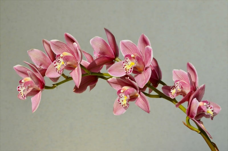 best smelling indoor plants cymbidium orchid