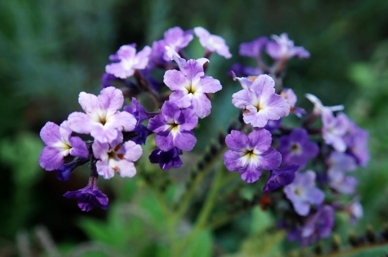 best smelling indoor plants heliotrope