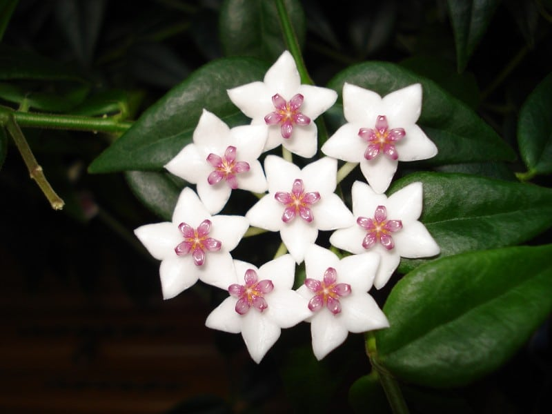 best smelling indoor plants hoya carnosa