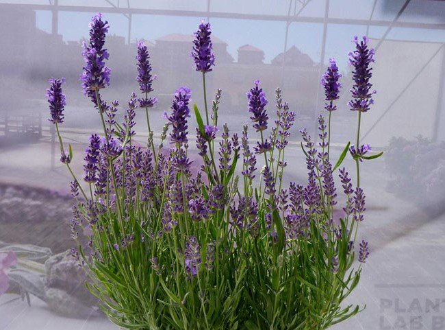 best smelling indoor plants lavender