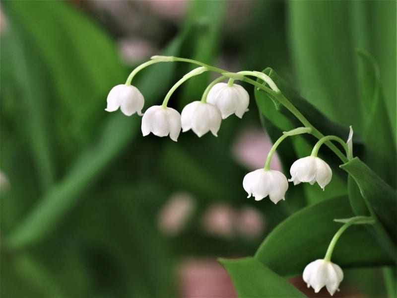 best smelling indoor plants lily of the valley
