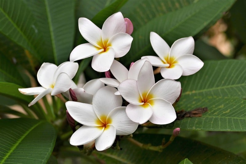 best smelling indoor plants plumeria