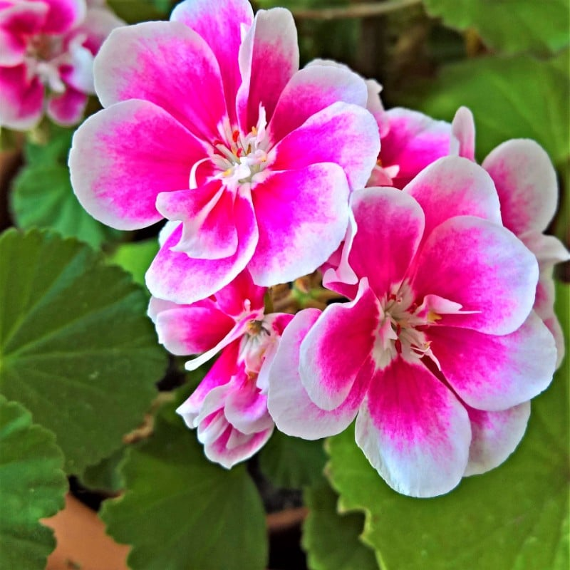 best smelling indoor plants scented geraniums