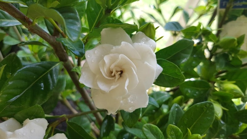 gardenia best smelling indoor plants