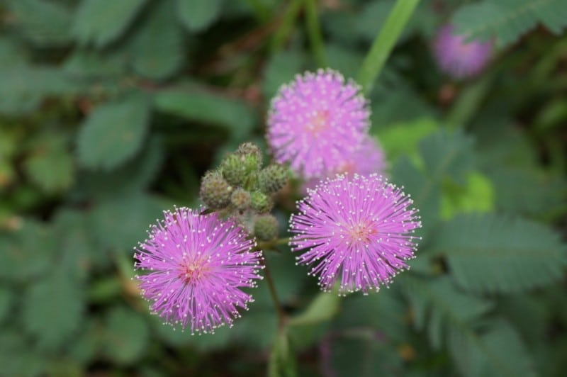 how to care for a sensitive plant mimosa pudica