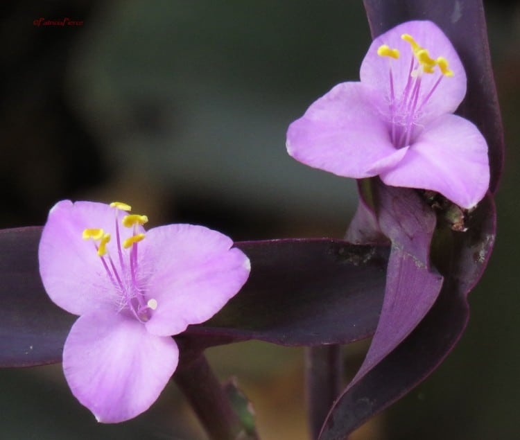 how to care for a wandering jew plant tradescantia zebrina