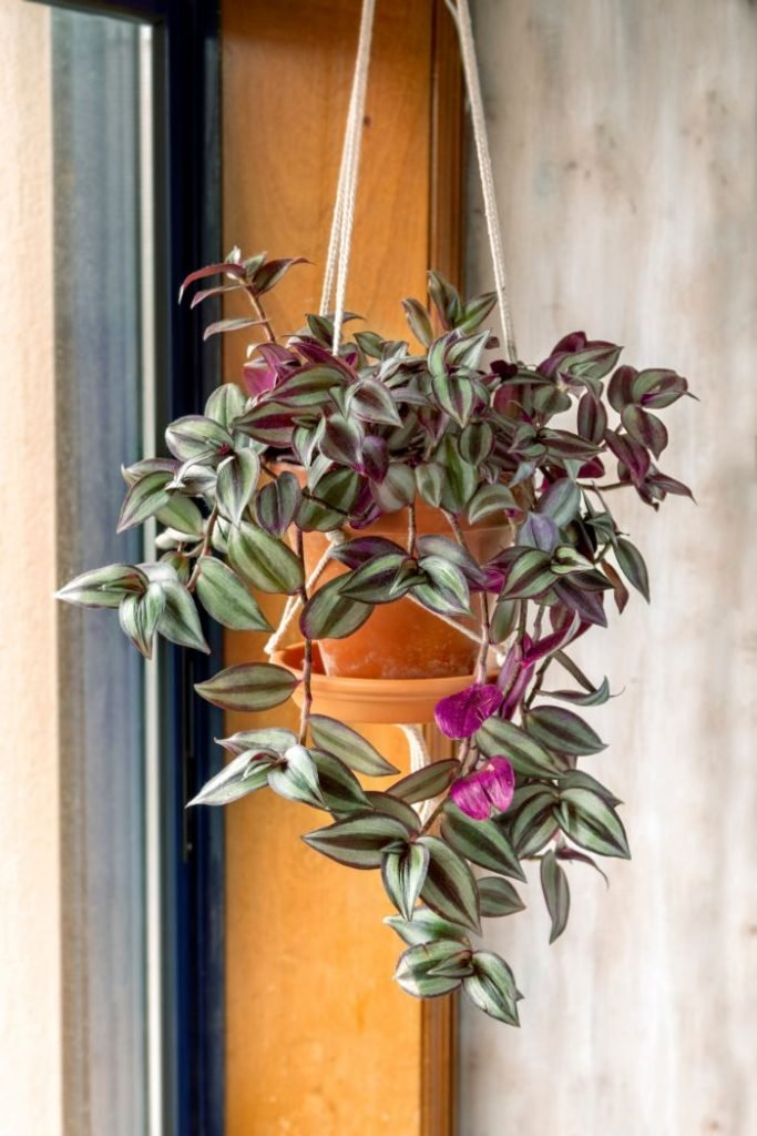 wandering jew plant care guide tradescantia zebrina