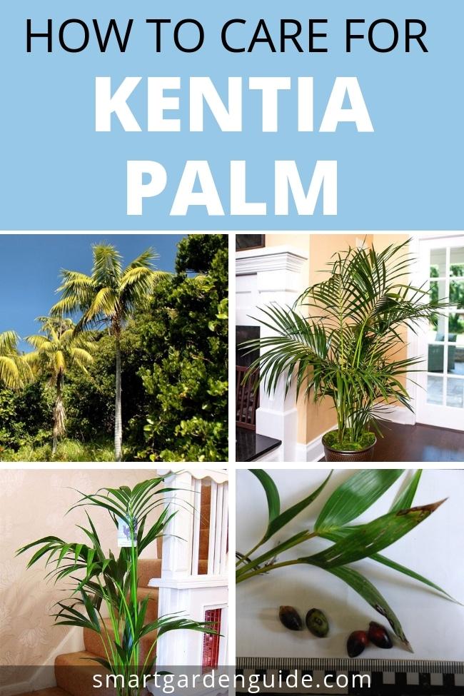how to care for kentia palm howea forsteriana