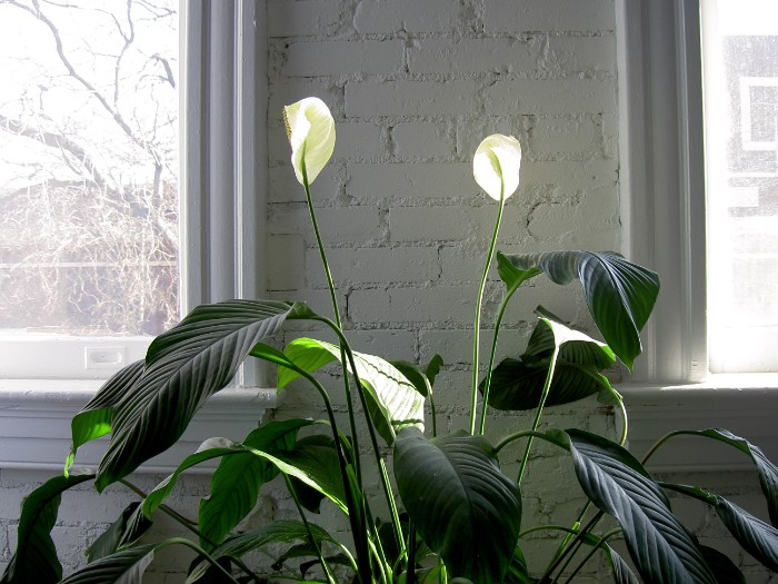 peace lily care spathiphyllum