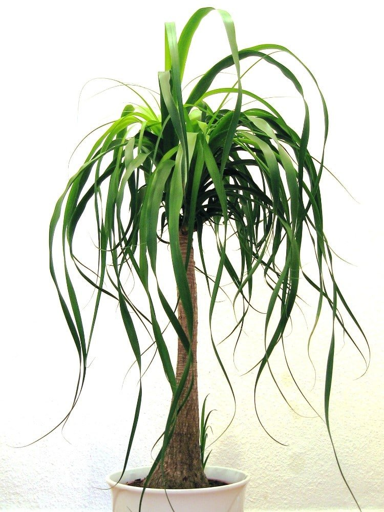 ponytail palm care