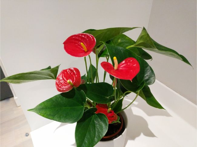 flamingo flower anthurium best easy care indoor plants