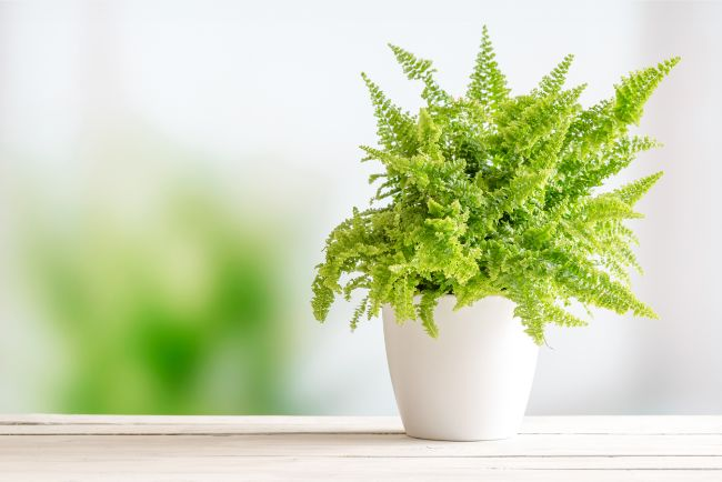 boston fern nephrolepis exaltata best houseplants for beginners
