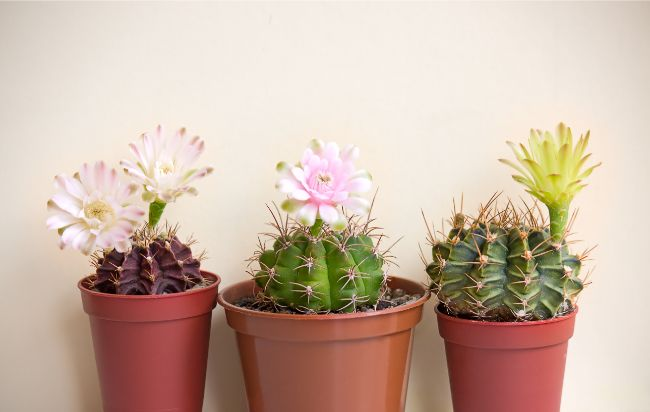 cacti best houseplants for beginners