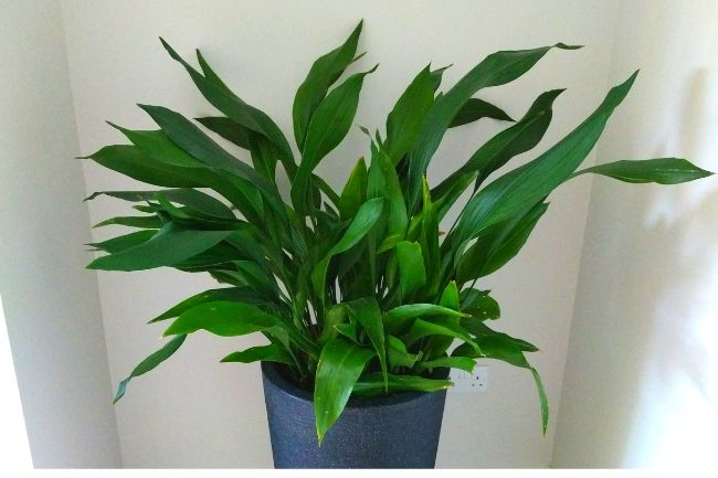 cast iron plant aspidistra elatior best houseplants for beginners