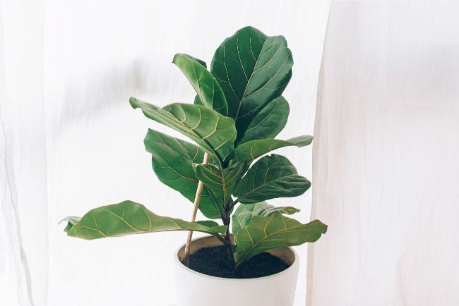 fiddle leaf fig ficus lyrata best houseplants for beginners