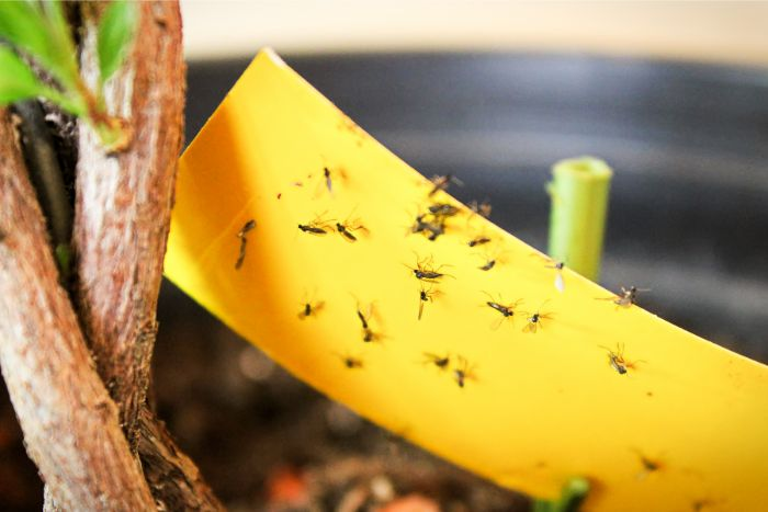 get rid of fungus gnats in houseplants