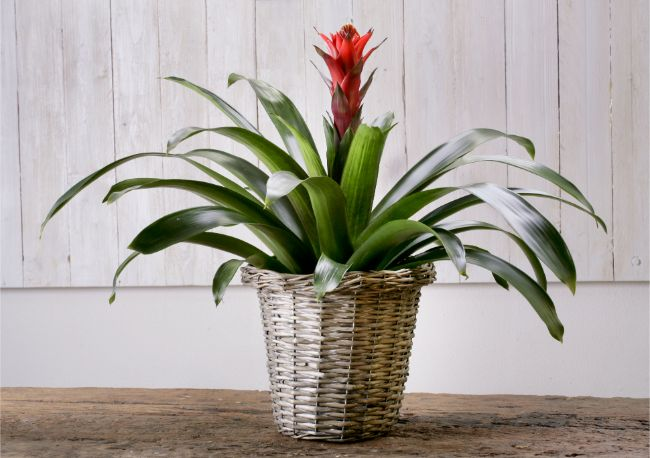 guzmania bromeliad best houseplants for beginners