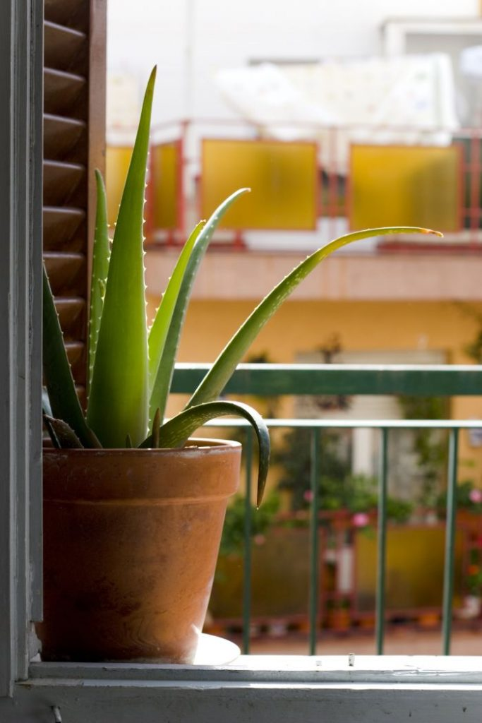 How Fast Does Aloe Vera Grow And How To Grow It Faster Smart Garden Guide