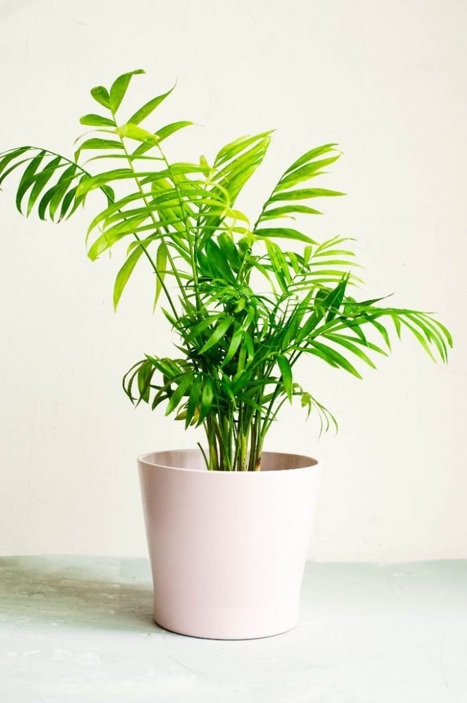 how to care for a parlor palm chamaedorea elegans