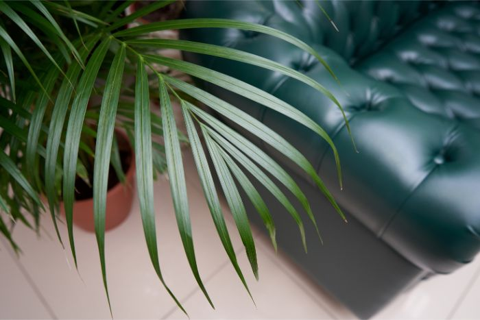 how to care for a parlor palm chamaedorea elegans