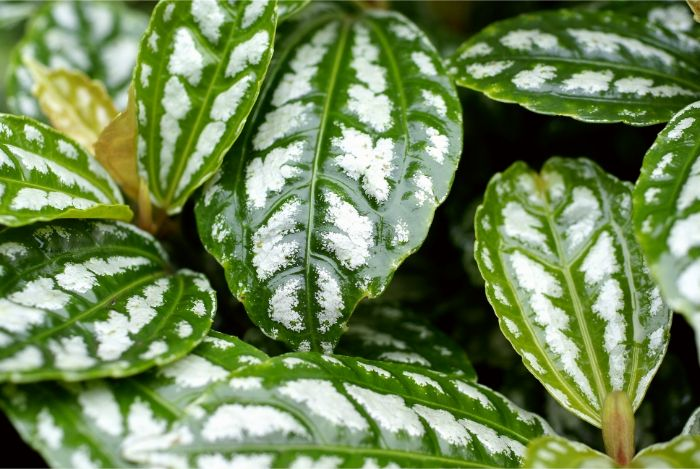 how to care for an aluminum plant pilea cadierei