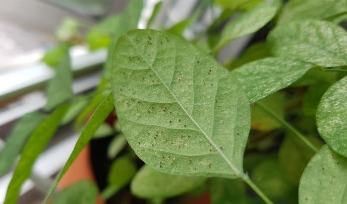 how to get rid of spider mites in houseplants