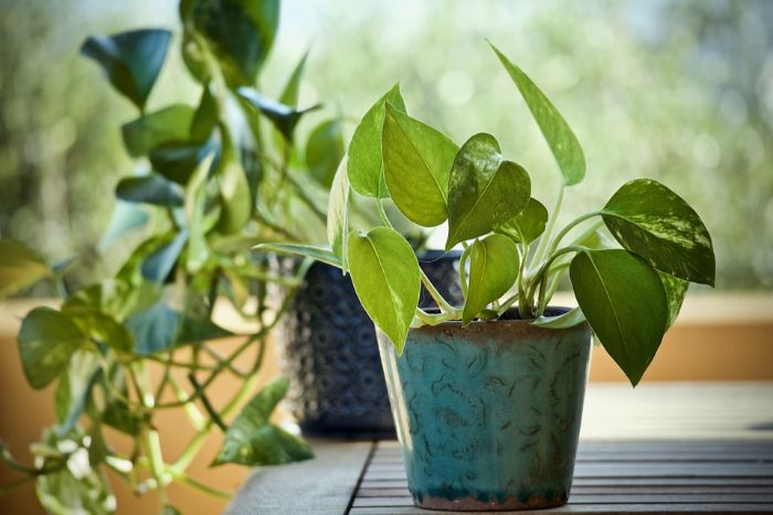 how to grow pothos faster
