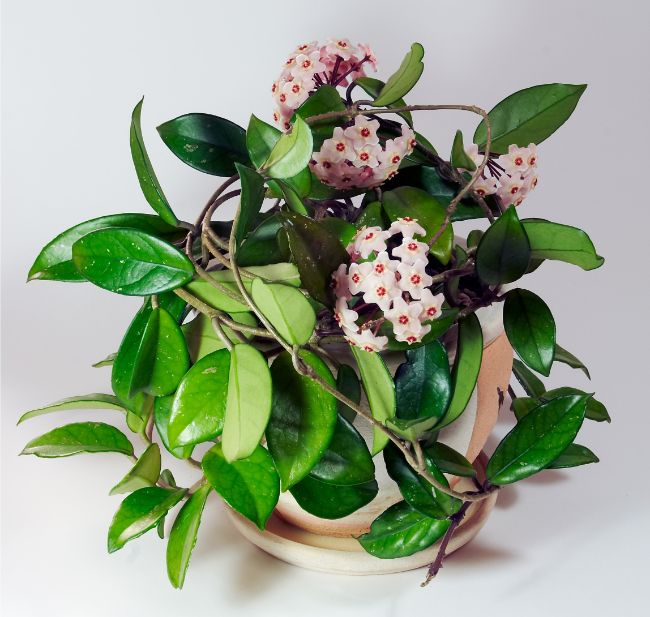 hindu rope plant hoya carnosa compacta best houseplants for beginners