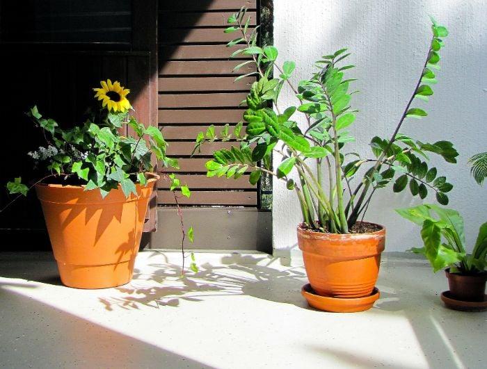 is a zz plant poisonous zamioculcas zamifolia