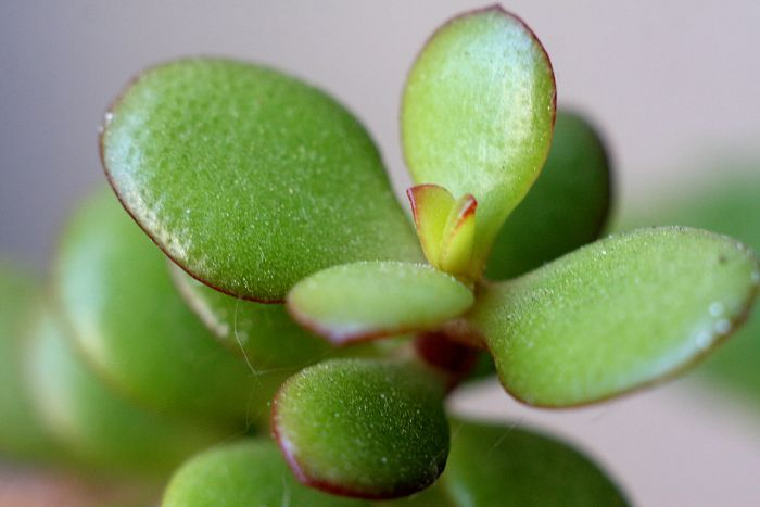 jade plant overwatering symptoms and solutions