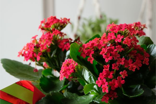 flaming katy kalanchoe blossfeldiana best easy care indoor plants