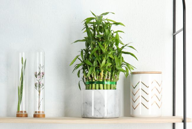 lucky bamboo best houseplants for beginners