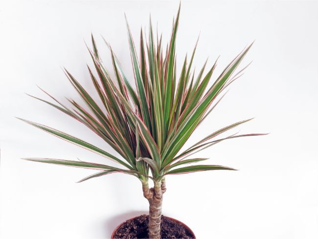 madagascar dragon tree dracaena marginata best houseplants for beginners