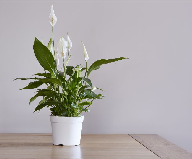 peace lily spathiphyllum best houseplants for beginners