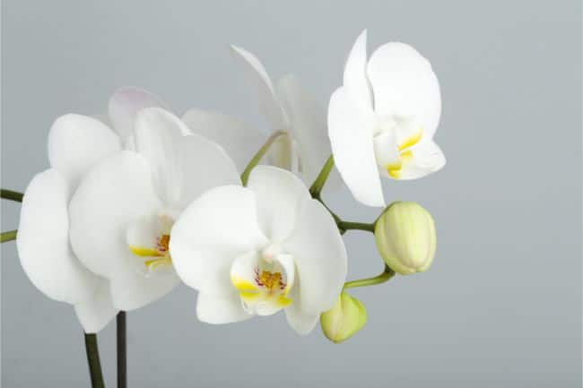 moth orchid phalaenopsis best houseplants for beginners