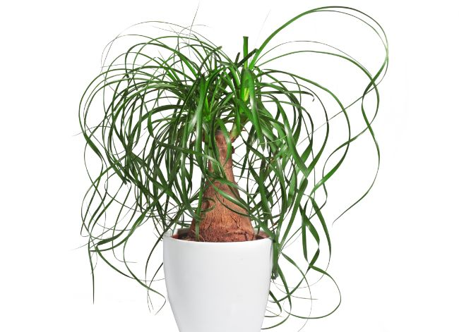 ponytail palm beaucarnea recurvata best easy care indoor plants