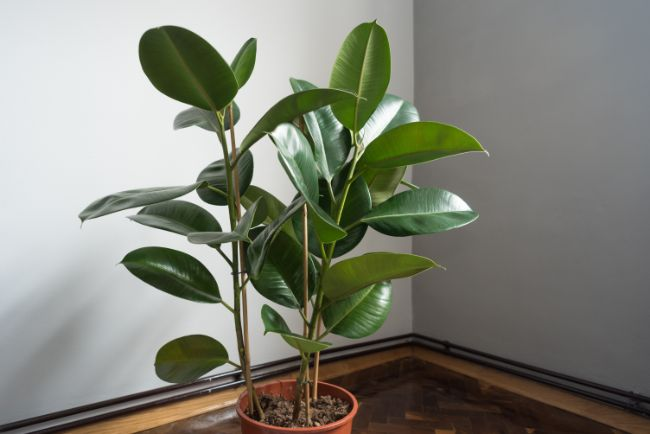 rubber plant ficus elastica best houseplants for beginners