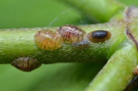 how to get rid of scale insects on houseplants naturally